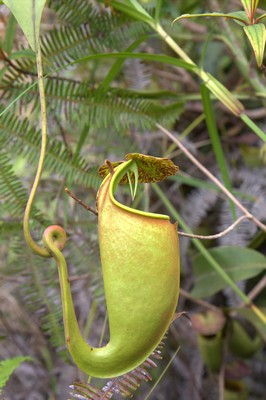 Nepenthes bicalcarata