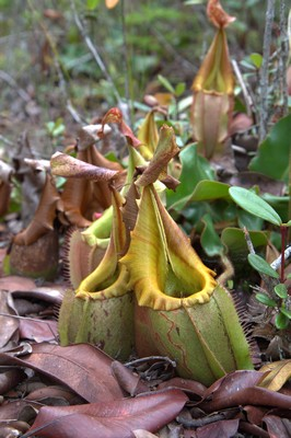 Nepenthes veitchii