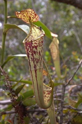 Nepenthes stenophylla