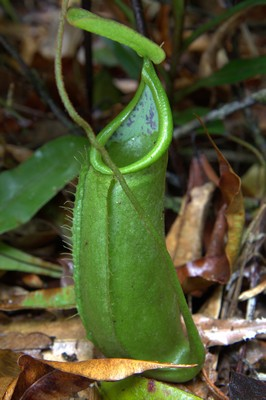 Nepenthes hirsuta