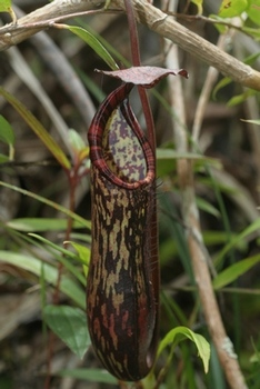 Nepenthes faizaliana