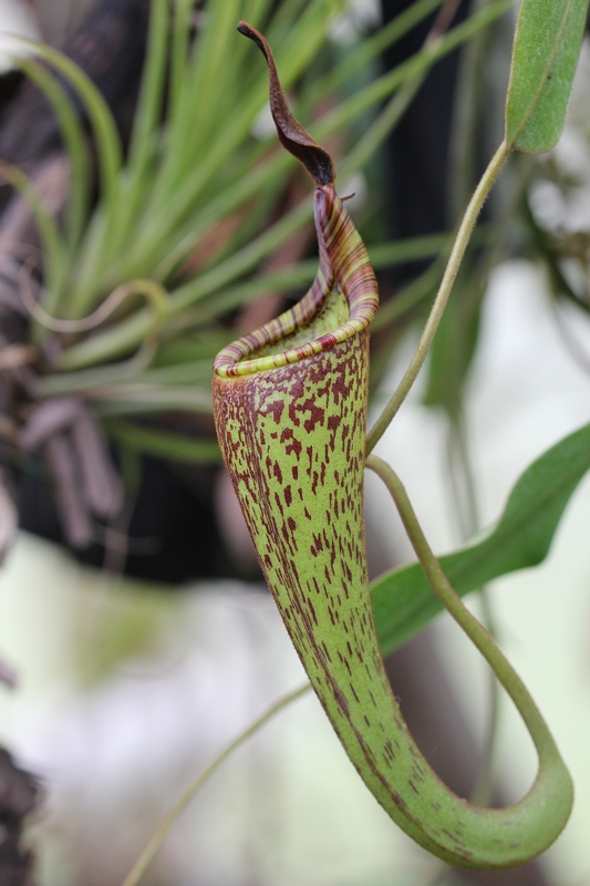 Nepenthes fusca