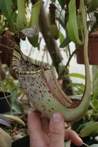 Nepenthes burbidgiae